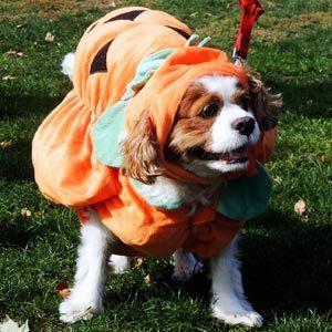 An English Spaniel looks happy dressed as a pumpkin