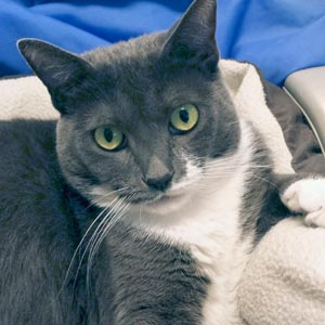 "Many Cats, including ""Penny Lane,"" are available for adoption at North Shore Animal League America."