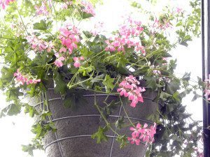 HangingBaskets_060315A