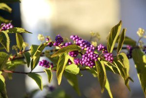 Callicarpa berries