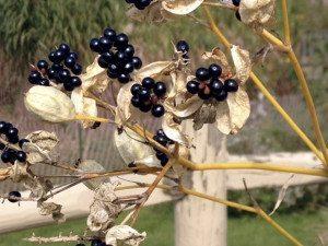 Belamcanda Blackberry Lily